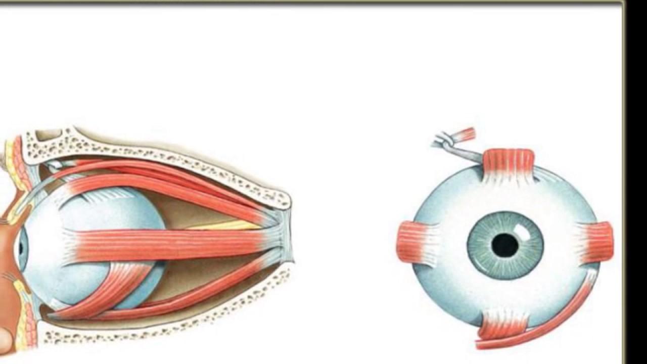 Extrinsische Augenmuskeln   Medizinisches spiel - YouTube