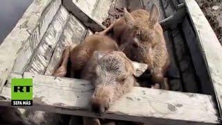 Salvan a dos crías de alce de morir ahogadas
