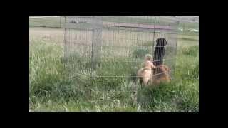 Colorado Sporting Puppies