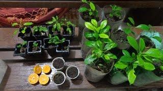 Baixar Como plantar Limões em vasos, processo completo!