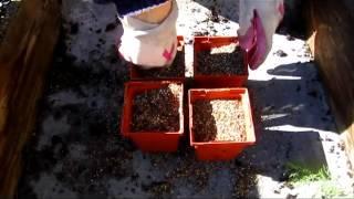 Winterizing Geraniums - Wisconsin Garden Video Blog 343