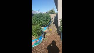 Ommp Outdoor grow update..
