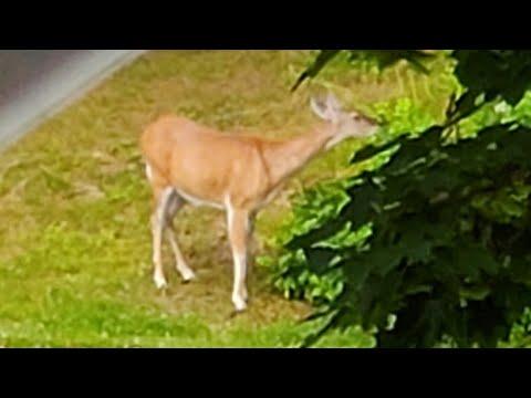Deer 🦌 In Antrim N.H. Right In Town(condominium Complex)