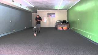 Sasha The Sheep Dog Trained In Basic Obedience