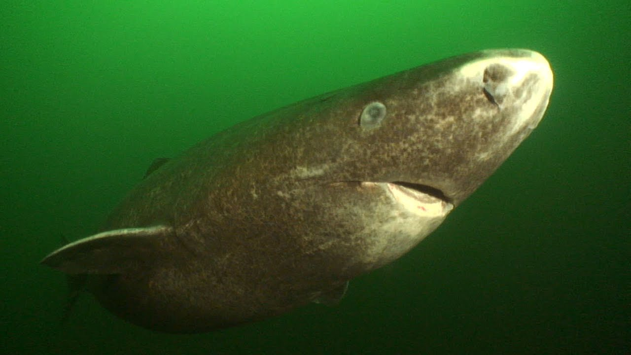 Image result for Greenland sharks