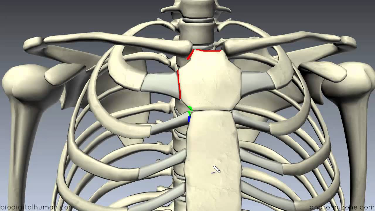 clavicle anatomy diagram labeled [ 1280 x 720 Pixel ]