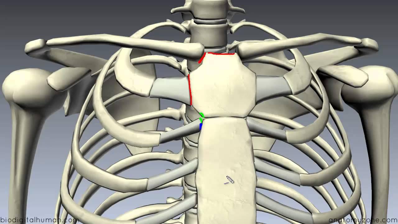 medium resolution of diagram part of sternum