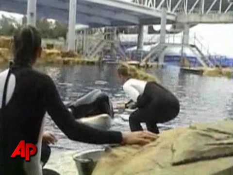 Raw Video: SeaWorld Killer Whale Before Attack