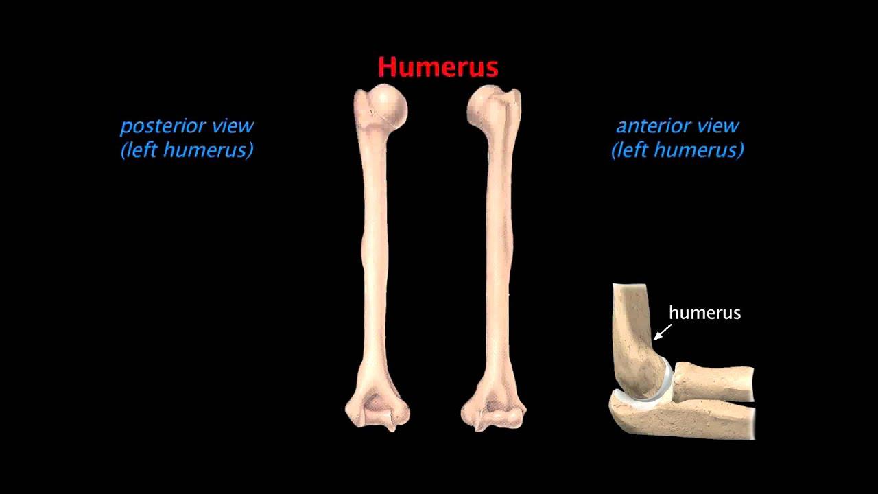 Upper Limb Skeleton Youtube