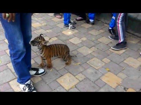 Anak harimau keluar kandang