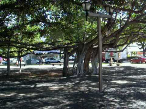 The famous Banyan Tree in Maui.MPG