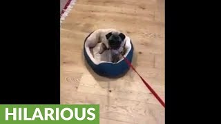 Defiant pug hates to go for late night walks