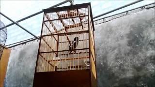 Video Kacer betina gacor ngeplong | Kacer betina bersuara merdu | kacer betina tarung download MP3, 3GP, MP4, WEBM, AVI, FLV April 2018