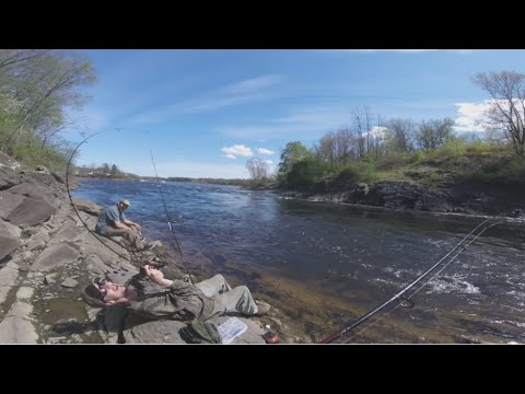 Fishing the North East Shad Run | First Shad of 2016 | Ultralight Shad Fishing