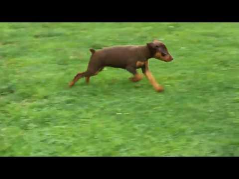 Miniature Pinscher Pup For Sale