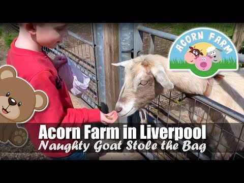 Acorn Farm In Liverpool | Naughty Goat Stole The Food | Friendly Farm Animals