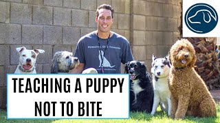 Personal Dog Training Of Phoenix Az- Puppy Nipping/bite Inhibition Training