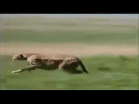 110kmh Cheetah attack gazelle   Wild Animal Attack Video
