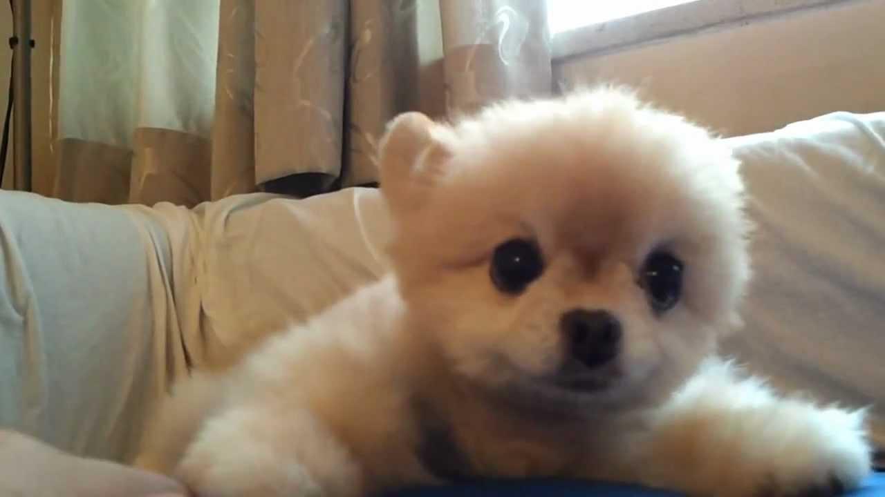 超可愛小狗搭住媽媽的手,不怕生,不認識牠們的你,應該很好奇,就情不自禁地愛上這個可愛的小公主! 一張小巧精緻的可愛臉孔,日本,法國,900, 很堅持啊~笑 ‿ - YouTube
