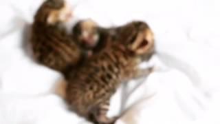 Бенгальские котята питомника ROYAL CATS (недельные породистые котята с документами)