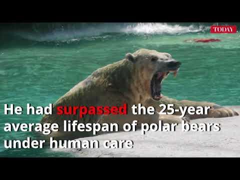Inuka, Singapore's last polar bear, put to sleep on 'humane grounds'
