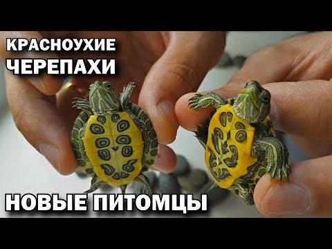 Черепаха водяная в домашних условиях