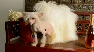MythicKingdom young adult hairless Chinese Crested Prince Paulo at 1 year 2 months April 8 2020