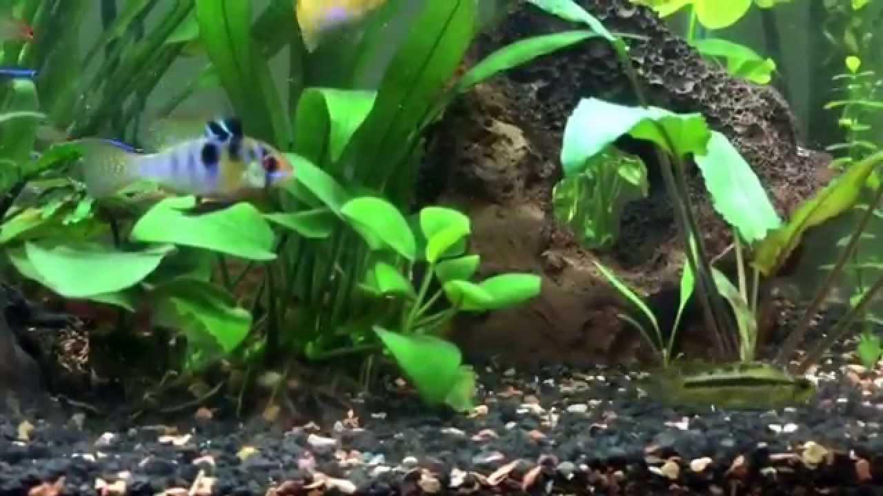 Freshwater fish for tanks - Tropical Freshwater Fish Tank Planted Tropical Fish Tank Dwarf Cichlids Blue Ram Golden Rams