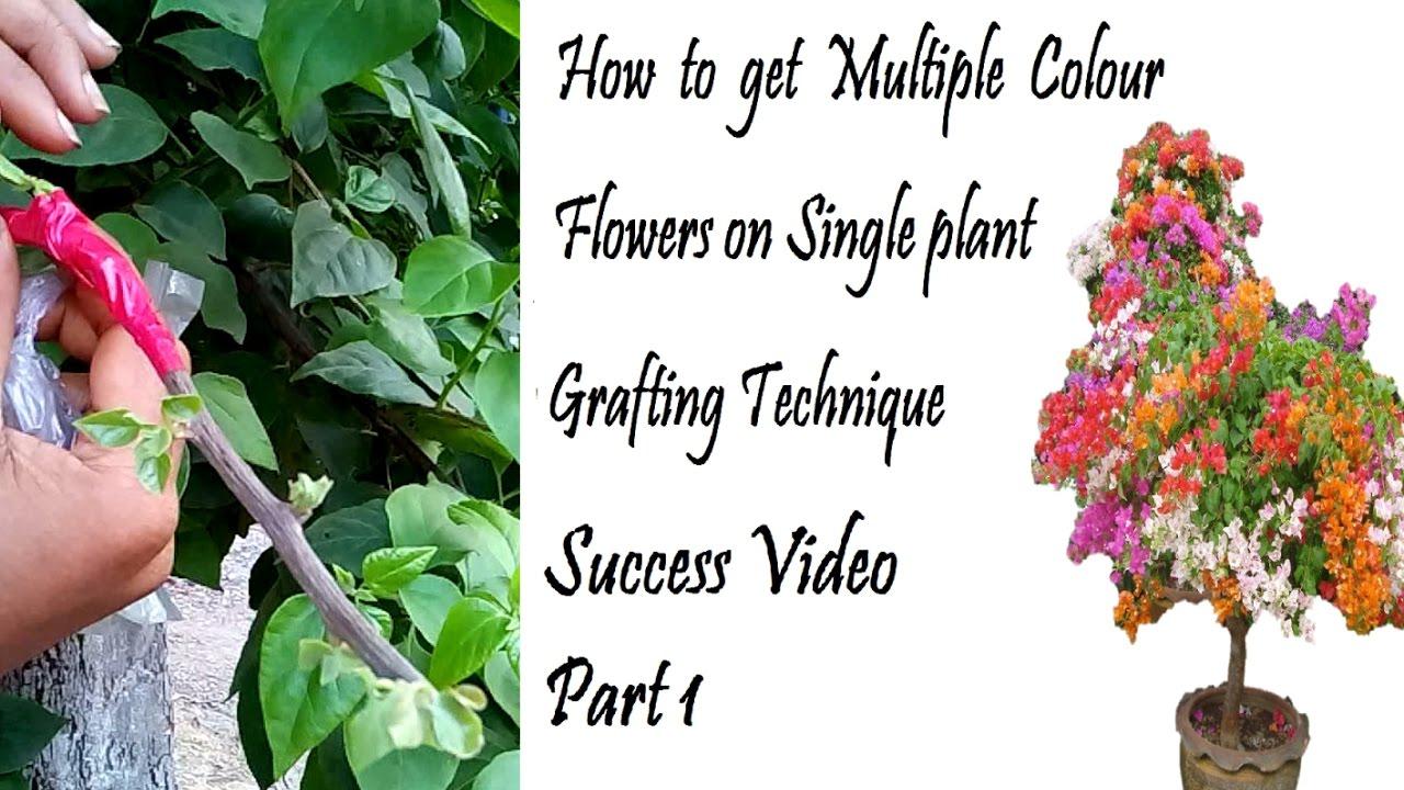 How to graft Bougainvillea// Multiple Colours on One Bougainvillea ...