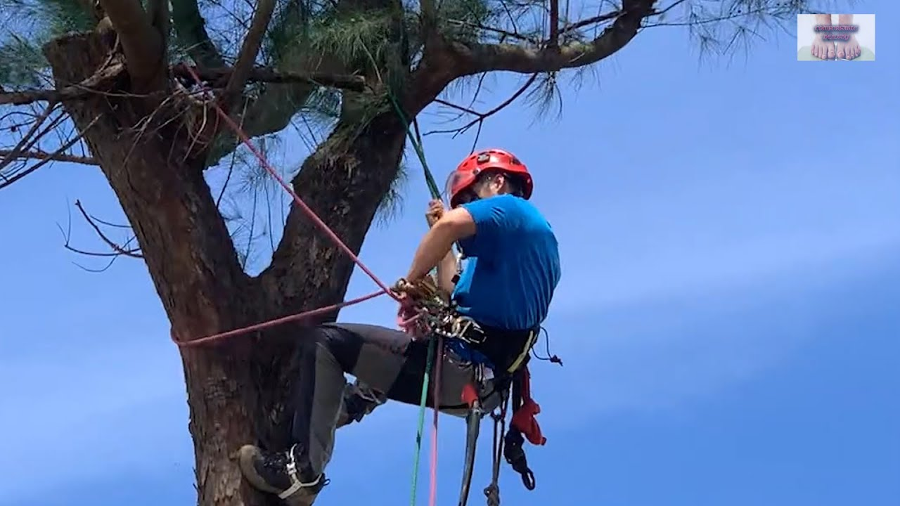 Pruning 6-storey tall trees