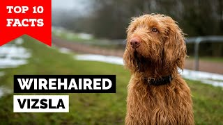Wirehaired Vizsla  Top 10 Facts