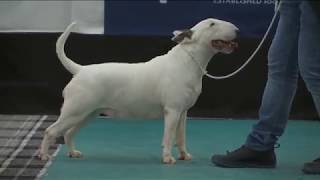 The Bull Terrier Club  Trophy Show  2016