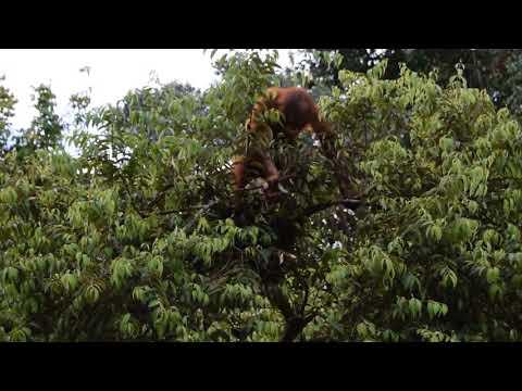 How Orangutans Make A Nest To Sleep In