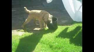 """freddy"" My Border Terrier In The Garden."