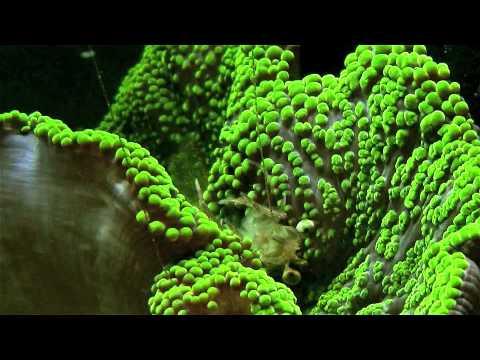 green carpet anemone - YouTube