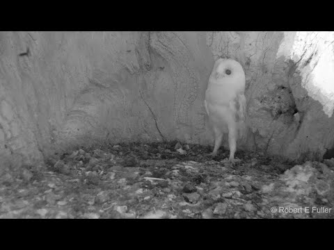 Andy Woods - Baby Barn Owl Hears Thunder For The 1st Time