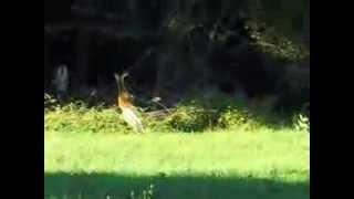 Deer,Hiller Farm,Rochester MA. 9/19/13