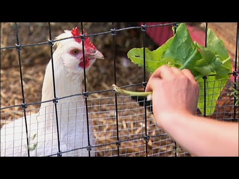 Raising Backyard Chickens - Greens for your Chickens