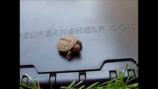 Urban Shelf Saves A Baby Turtle
