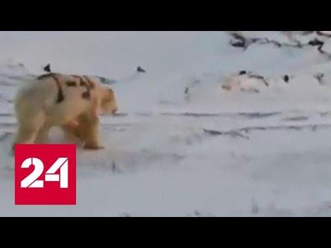 """Российские ученые ищут белого медведя с надписью """"Т-34"""" на боку - Россия 24"""