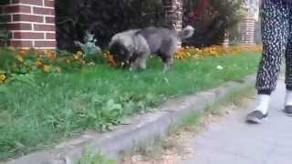 Owczarek kaukaski spacerek / Caucasian shepherd puppy walk
