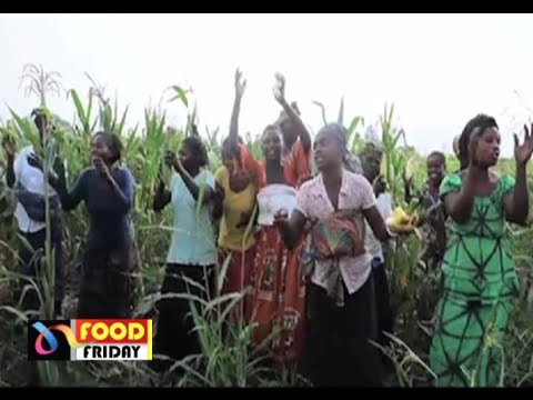 Food Friday: DRC's hybrid maize that is aiming to ensure food security and save wildlife