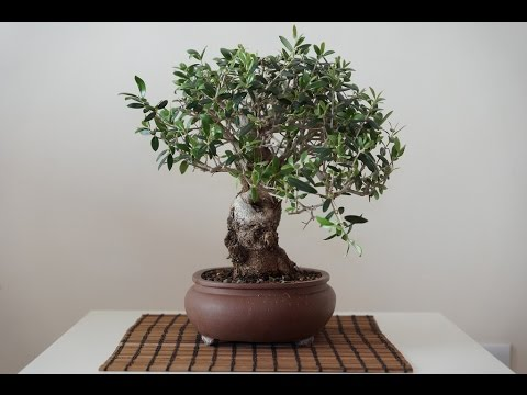 bonsai training information olea europaea olive tree black olive rh youtube com Bonsai Styles Bonsai Wiring Techniques