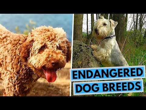 TOP 10 Endangered Dog Breeds