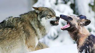 Волк против Африканской дикой собаки