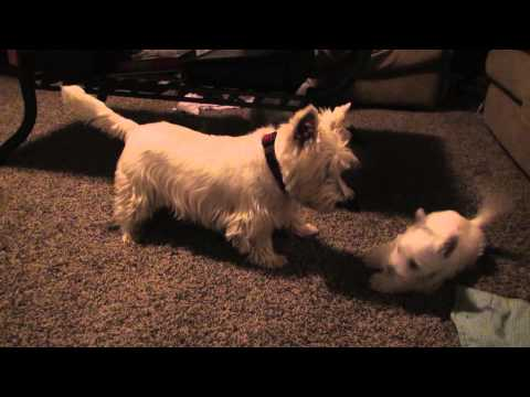 Westie Puppies Wrestle and Play with Parents