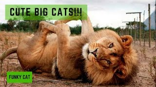 BE CAREFUL: These Dangerous Big Cats Can Charm You With Their Cuteness))