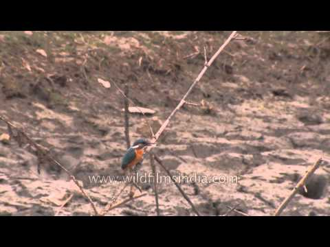 Common Kingfisher in the delta of the Sundarbans