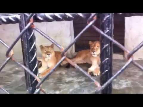 Lions in Okrika