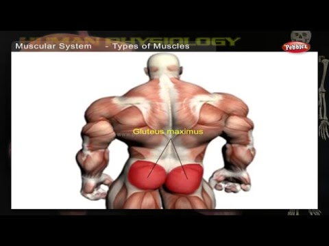 Muscular System | How Human Body Works | Human Body Parts and Functions | Human Anatomy 3d